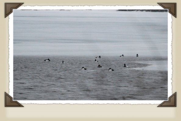 Group of Ringbills.