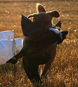 Gambler and his goose.