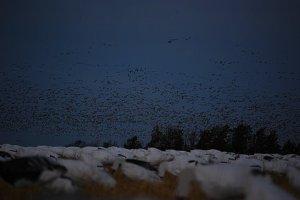 Many birds.