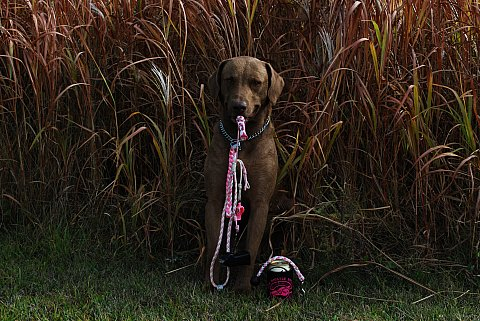 Gambler is proud to wear pink at hunt tests, he's proud to support the PWS and breast cancer awareness.