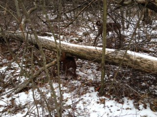 Going under fallen trees.