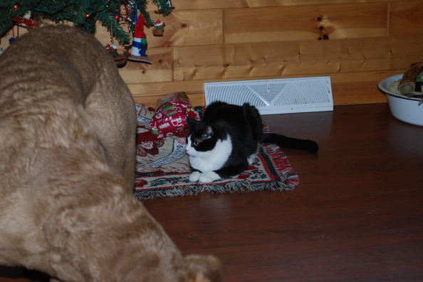 Poor Mk gets no presents to open so she just hung out under the tree.