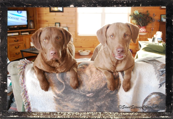 Gambler and Glory would sit pretty on the couch for a quail treat.