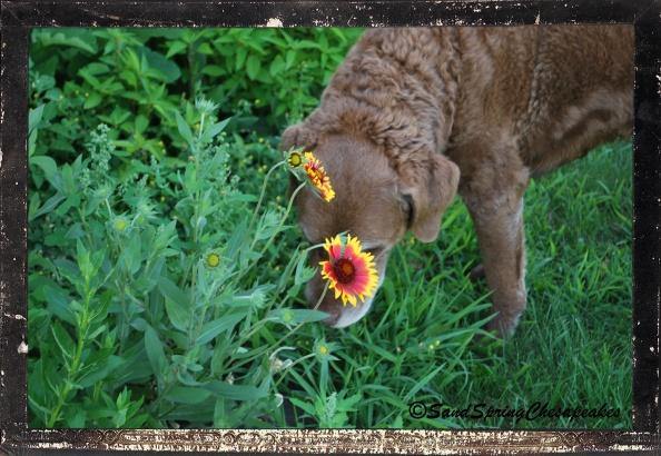 One of my favorite flowers. Blanket flowers.